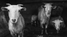 B&w Goats In A Ship