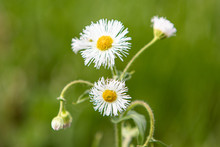 Daisy Fleabane In The Grass
