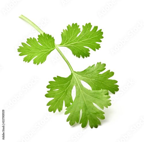 Fototapeta green leaf coriander isolate on white background obraz