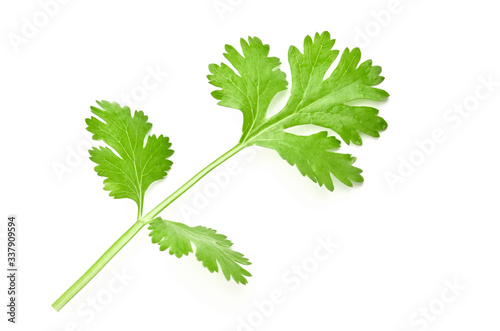 Fototapeta fresh green leaf coriander isolate on white background obraz