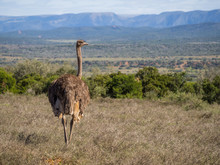 Ostrich Walking In Dry Grass With Mountains In Background, Addo Elephant National Park, South Africa