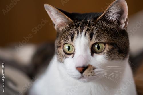 Fototapeta 見つめる猫
