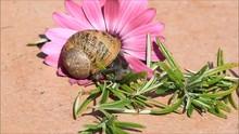 Snail  Helix Pomatia Macro, Timelapse