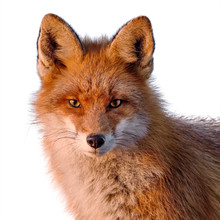 Red Fox Isolated On White