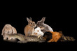 rabbits guinea pig and crocodile on a black isolated background