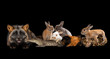 silver fox, rabbits, guinea pig, crocodile and snake on a black isolated background