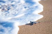 Baby Turtle Entering Sea