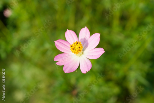 Photo Close-up Of Pink Cosmos Flower