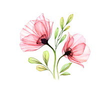 Watercolor Poppy Bouquet. Two Red Flowers With Leaves Isolated On White. Hand Painted Illustration With Detailed Petals. Botanical Illustration For Cards, Wedding Design