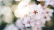 kwiat kwitnącej wiśni w ogrodzie
