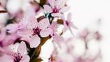 Kwitnące drzewo wiśni wiosną w ogrodzie