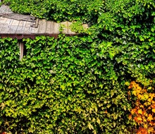 High Angle View Of Ivy Growing...