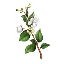 Lemon Myrtle Detail Isolated Digital Art Illustration. Flowers On Green Stem, Australian Hand Drawn Plant. Lemon Myrtle, Lemon Scented Myrtle, Lemon Scented Ironwood Flowering Plant.
