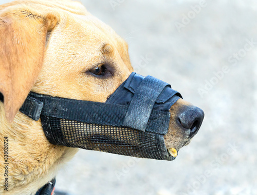 Close up portrait of a dog wearing a muzzle Fototapete