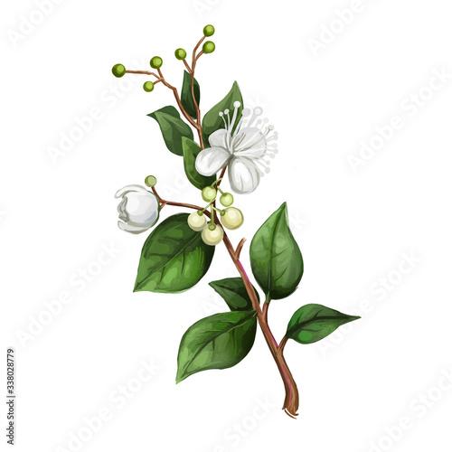 Fototapeta Lemon Myrtle Detail isolated digital art illustration. Flowers on green stem, Australian hand drawn plant. lemon myrtle, lemon scented myrtle, lemon scented ironwood flowering plant. obraz