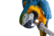 Beautiful Yellow-Blue Macaw, C...