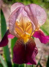 Purple Bearded Iris Close-Up