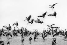 Demoiselle Cranes Overwintering In Rajasthan - India