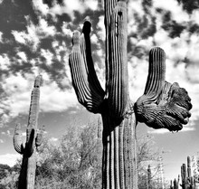 Low Angle View Of Cactus Growing Against Cloudy Sky
