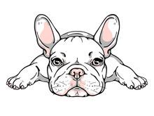 Cute French Bulldog Puppy. Vec...