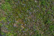 Wild Blue-eyed Grass