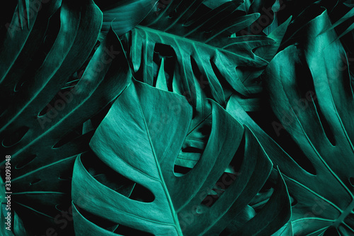 Fototapete - closeup nature view of green monstera leaf background. Flat lay, dark nature concept, tropical leaf