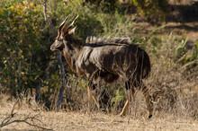 Nyala, Mâle, Tragelaphus Angasii, Parc National Kruger, Afrique Du Sud
