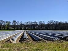 Asparagus Field Farming Season...