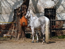 White Horse Standing And Chewi...