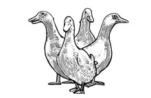 Ducks Vector Isolated On A White Background. Herd Of Home. Hand Drawn Picture.