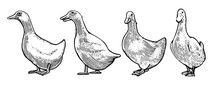 Hand Drawing. White Ducks. Bla...