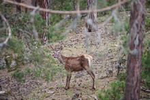 A Young Deer That Wanders Amon...