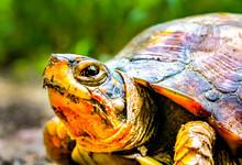 Three- Toed Box Turtle Portrait