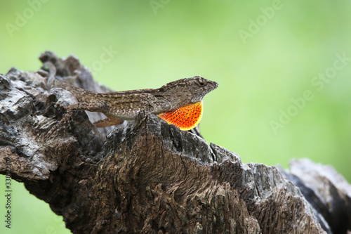 anole dewlap flash Canvas Print