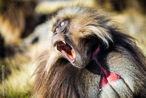 Photo Gelada baboons in the Simien Mountains National Park, Ethiopia