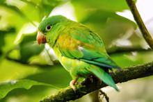 Orange-chinned Parakeet (Brotogeris Jugularis) Sitting In A Tree