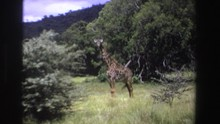 SOUTH AFRICA-1969: Two Giraffes Standing In Tall Grass Wagging Their Tails Trees In Distance