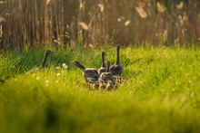 High Angle View Of Geese On Grassy Field