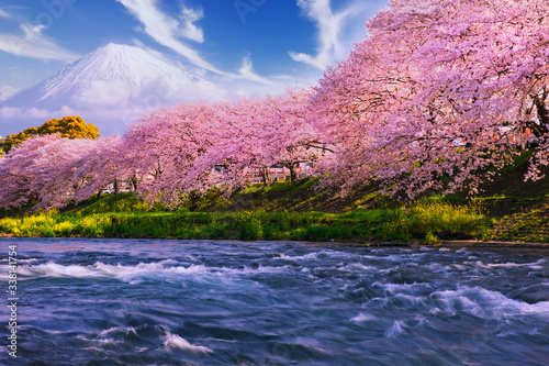 Fototapeta Pink sakura flowers,Cherry blossoms pink,Sakura Cherry blossoming alley