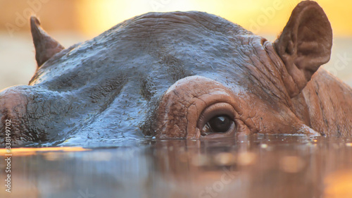 Photographie Hippo swims in the river in the evening. Face close up