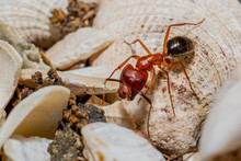 Large Red Ant With Extra Head And Eyes Growing On Its Face.
