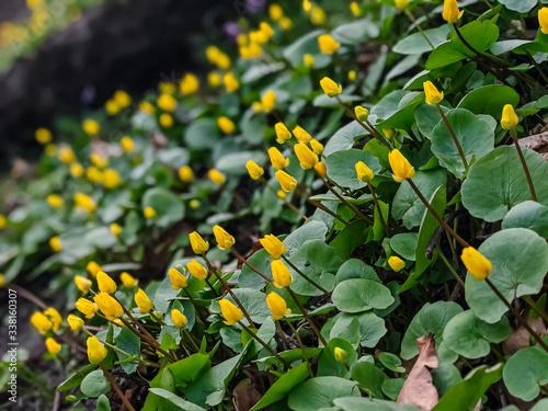 Fotografie, Tablou A yellow, juicy flower of goose cinquefoil ((Potentilla anserina), (Potentilla g