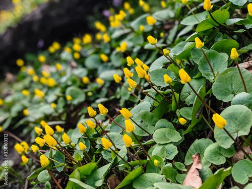 A yellow, juicy flower of goose cinquefoil ((Potentilla anserina), (Potentilla g Fototapeta