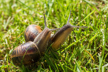 Two Snails Walking And Eating In The Green Field