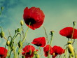 Close-up Of Red Poppy Flowers Against Sky