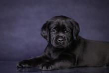 Portrait Of A Cute Black Labrador Puppy In The Studio.