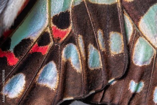 Close up of The Common Jay Butterfly wing detail and texture,The Common Jay Grap Fototapet