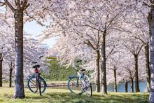 Two Bicycles Under Pink Sakura...