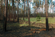 Burnt Forest Floor And Charred Pine Tree Trunks After A Ground Fire