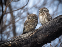Owls Perching On Branch
